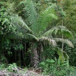 Пальма Тагоа